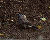 KUSA-6741 (Weinstöckle) Tags: tannenhäher vogel rabenvogel