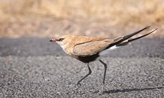 roadrunner (Fat Burns ☮ (on/off)) Tags: australianpratincole roadrunner stiltiaisabella bird australasianbird fauna australianfauna nature outdoors nikond500 sigma150600mmf563dgoshsmsports barcaldine queensland australia