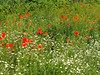Kwiaty Blumen Flower (arjuna_zbycho) Tags: kwiaty blumen flower flora natur badenbeiwien mak maki makpolny czerwonemaki kwiatypolne mohn mohnblumen coquelicots pavots popyflower popy klatschmohn papaverrhoeas mohnblume klatschrose cornpoppy cornrose fieldpoppy flanderspoppy redpoppy redweed közönségespipacs vetésipipacs papaverocomune rosolaccio gatunekleczniczy heilpflanze hausmittel kwiat blume fleur popies fleurs
