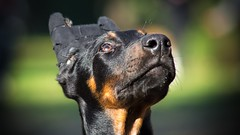 Look up (zola.kovacsh) Tags: outside outdoor animal pet dog school pup puppy dobermann doberman pinscher