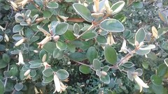 (sftrajan) Tags: correa australianplants botanicgarden botanicalgarden strybingarboretum sanfranciscobotanicgarden flowers botany goldengatepark rutaceae ботаническийсад sanfrancisco
