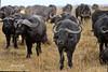 African buffalo (Syncerus caffer) (José M. F. Almeida) Tags: kenya masai mara wildlife africa 2017 august reserv syncerus caffer búfalodocabo african buffalo quenia quênia safari