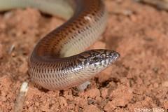 Eastern Robust Slider (Lerista punctatovittata) (shaneblackfnq) Tags: eastern robust slider lerista punctatovittata shaneblack lizard skink danggali south australia outback arid burrowing