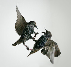 Locked in Combat (michael.smith86) Tags: starling sturnusvulgaris panasonic fz1000 fight battle claws anger fighting dispute confrontation flying flight eastyorkshire flamborough