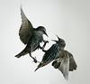 Locked in Combat (michael.smith86) Tags: starling sturnusvulgaris panasonic fz1000 fight battle claws anger fighting dispute confrontation flying flight eastyorkshire flamborough