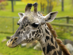 Cleveland Metroparks Zoo 11-11-2014 - Giraffe 4 (David441491) Tags: masaigiraffe firaffe clevelandmetroparkszoo