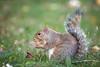 Scoiattolo (Christian Papagni | Photography) Tags: legnano lombardia italia it scoiattolo squirrel parco castello bosco canon eos 7d mark ii ef100400mm f4556l is usm