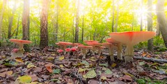 Fly agric (fire111) Tags: fly agric vliegenzwam bos bladeren light leafs fall autumn mushroom fungus nikon