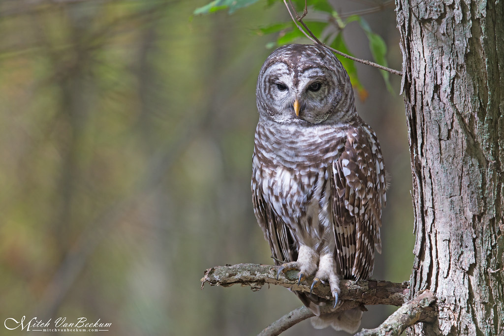 Barred Owl (Full Frame)