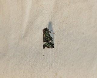 9051 Lithacodia musta, Small Mossy Lithacodia Moth