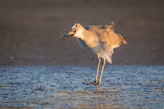 Force Feeding (gseloff) Tags: willet bird feeding bluecrab sand beach bolivarflats galvestoncounty texas gseloff