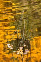 On Golden Pond (alicecahill) Tags: 4 autumn usa aspen golden ©alicecahill reeds easternsierra reflection michaelfryeworkshop monocounty leaves water fall california october