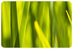 Spring Green (explored) (Greenstone Girl) Tags: green plants garden iris leaves abstract
