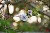 last flowering tree (ドロイナ) Tags: japan forest green tree trees nature lake 森林 緑 木 日本 自然 湖