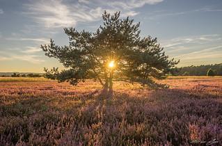 Der Baum in der Lüneburger Heide