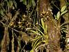 Odontoglossum (Eerika Schulz) Tags: odontoglossum lemboglossum rossioglossum mindo ecuador