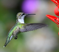 Ruby-throated Hummingbird (KoolPix) Tags: rubythroatedhummingbird hummingbird bird wings bif birdinflight flight flying beak feathers koolpix jaykoolpix naturephotography nature wildlife wildlifephotos naturephotos naturephotographer animalphotographer wcswebsite nationalgeographic fantasticnature amazingnature wonderfulbirdphotos animal amazingwildlifephotos fantasticnaturephotos incrediblenature naturephotographywildlifephotography wildlifephotographer mothernature mnsa marinenaturestudyarea