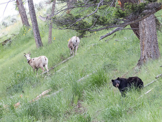 Black Bear and Bighorn Sheep