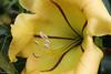 Trompette de Jéricho (philippeguillot21) Tags: fleur flower entredeux réunion pixelistes canon