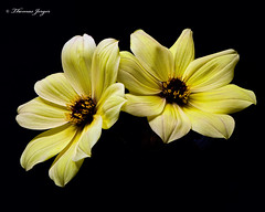 Yellow Dahlia Pair 0912 Copyrighted (Tjerger) Tags: nature beautiful beauty black blackbackground bloom blooming blooms closeup duo flora floral flower flowers macro pair plant portrait purple summer two white wisconsin yelllow couple dahlia natural