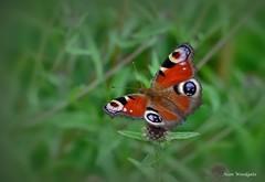 Peacock Butterfly -  Buckinghamshire (Alan Woodgate) Tags: butterfly peacock