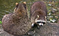 Wildpark ; Waschbären 75570/9036 (roba66) Tags: waschbär tierpark wildtierparkpforzheim zoo zoolgarten badwürttemberg stuttgart wilhelma roba66 tier tiere animal animals creature racoon