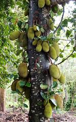 Jackfruit tree (MiriaGrunick) Tags: spice jackfruit tanzania africa tree zanzibar farm