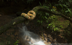 Eyelash Viper (Alastair Marsh Photography) Tags: viper eyelashpalmpitviper eyelashviper eyelashvipers vipers pitviper reptile reptiles snake snakes forest dappledlight river water stream sarapiqui sarapiquiriver costarica centralamerica latinamerica animal animals animalsintheirlandscape wildlife