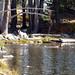 Bella fetching a stick in Tamarack Lake