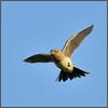 Lark Ascending (Full Moon Images) Tags: rspb sandy lodge thelodge wildlife nature reserve bedfordshire bird flight flying skylark lark ascending