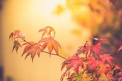 Acer (frattonparker) Tags: btonner bokeh depthoffield fall flowersplants isleofwight lightroom6 nikond810 raw tamron28300mm frattonparker acer maple autumn leaves leaf branch