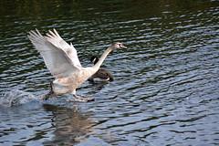 Steeplechase (2) (Caulker) Tags: aberford park pond goose cygnet flying 16102017