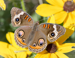 Common Buckeye (tresed47) Tags: 2017 201710oct 20171018extonparkmisc buckeye butterflies canon7d chestercounty content fall folder insects macro october pennsylvania peterscamera petersphotos places season takenby technical us ngc npc