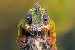 Panther Chameleon, CaptiveLight, Ringwood, Hampshire, UK (rmk2112rmk) Tags: pantherchameleon captivelight furciferpardalis chameleon lizard reptile herps dof bokeh macro