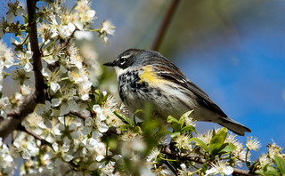 IMG_9117  Yellow-rumped or Myrtle Warbler
