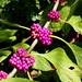 amerikai lilabogyó / American beautyberry