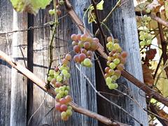 IMG_3791 (germancute) Tags: nature grapes trauben
