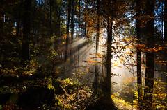 Where is the light? (Theo Crazzolara) Tags: light woods forest nature sun natur tree baum licht sonne fog foggy nebel sonnenstrahlen sunbeam sunray shaftsofsunlight beamofsunlight rayofsunlight heaven himmel autumn gold herbst fall