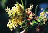 Glowing Wattle (Katie Tarpey) Tags: wattle flowers glow natives australiannatives australianflowers light winterlight yellow nikonfm10 nikkor50mm14 film 35mm agfa agfavistaplus400 bokeh depthoffield
