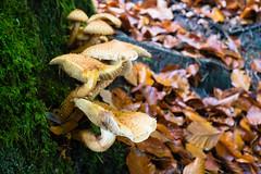 Mushrooms (martinstelbrink) Tags: ernzen teufelsschlucht devilsgorge eifel südeifel germany rheinlandpfalz autumn herbst sony alpha7rii voigtländervmeclosefocusadapter leicasummicron35mmf20preasph leicasummicron35mmf20i leica summicron 35mm f20 preasph mushrooms pilze