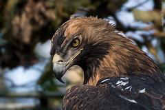 Kaiseradler (marionB-fotografie) Tags: tier tiere animal animals vögel vogel bird eagle adler habichtartige greifvögel greifvogel tierparkberlin