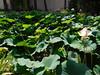 Ninfee (ludovica_c89) Tags: giardinobotanico pisa