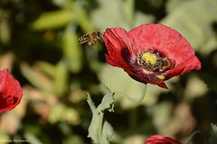 the bee and the flower (katrienberckmoes) Tags: bee looking for nectar pollen poppy papaver red flower macro