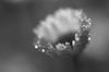 Sécher ses larmes au soleil (CécileAF) Tags: canon flowers dreamy droplets dew tamron monochrome macro nature autumn