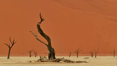 versteinert (marionkaminski) Tags: namibia afrika africa namibnaukluft deadvlei tree arbre arbol alt old wüste desert desierto sandwüste panasonic lumixfz1000 dünen dunes sossusvlei