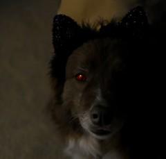 Scaredy Cat!!! (One Day Of Sun -- It's So Lovely!!!) Tags: ddc 2189 spooky shizandra dog catsears lowkey eye red bordercolliemix