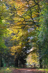 Last of the Autumn leaves Forest of Dean, Gloucestershire (Christopher Smith1) Tags: vertical autumn leaves forest dean gloucestershire low level golden ground nature trees botanical advert advertorial commercial sky skywards looking up arboretum outdoors recreation leisure