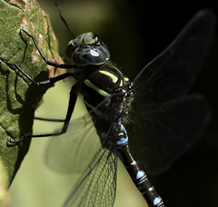 KW9A1413 (scottygphotos - 1M views 1 1/2 yrs) Tags: dragonflies wildlife canon insects wings explore