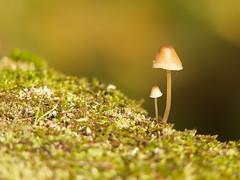two of us (Håkan Jylhä (Thanks for +600000 views)) Tags: håkan jylhä panasonic fz300 svamp mushroom close closeup närbild tiny liten små small sweden sverige höst autumn