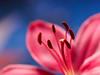 Desire (Karsten Gieselmann) Tags: 60mmf28 apertureblending blau blumen blüten bokeh dof em5markii focusstacking heliconfocus lilie mzuiko makro microfourthirds natur olympus pflanzen rot schärfentiefe blossom blue flower kgiesel lily m43 macro mft nature red